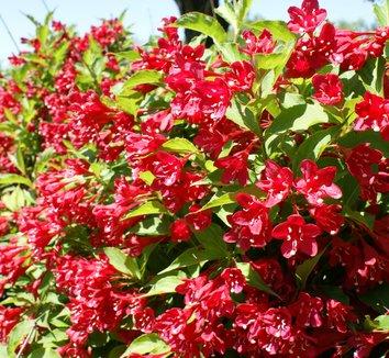 weigela florida 39 red prince 39 weigela 39 red prince 39 plant lust. Black Bedroom Furniture Sets. Home Design Ideas