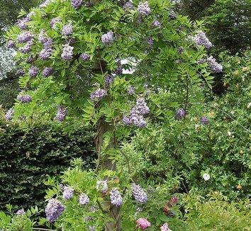 Wisteria frutescens 'Amethyst Falls' 1 flower, form