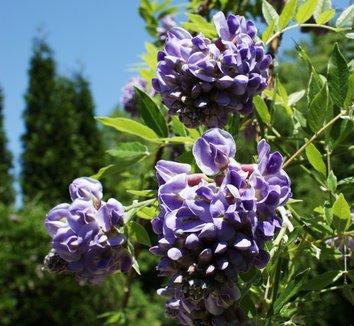 Wisteria frutescens 'Amethyst Falls' 2 flower