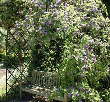 Wisteria frutescens 'Amethyst Falls' 4 flower
