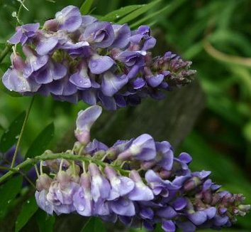 Wisteria frutescens 'Amethyst Falls' 6 flower