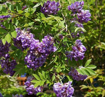 Wisteria frutescens 'Amethyst Falls' 8 flower