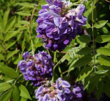 Wisteria frutescens 'Amethyst Falls' 10 flower