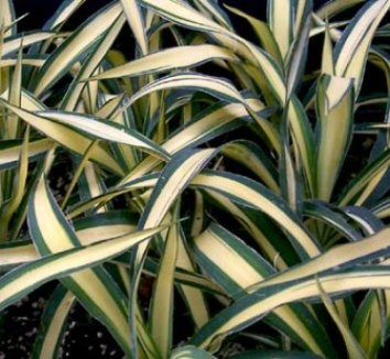 Yucca filamentosa 'Color Guard' 7 form