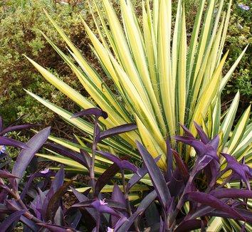 Yucca filamentosa 'Color Guard' 12