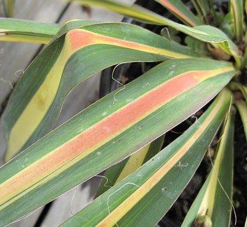 Yucca filamentosa 'Color Guard' 14