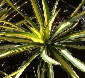 Yucca filamentosa 'Color Guard' 15