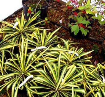 Yucca filamentosa 'Color Guard' 16