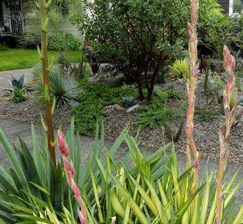 Yucca filamentosa 'Color Guard' 18