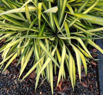 Yucca filamentosa 'Color Guard' 21
