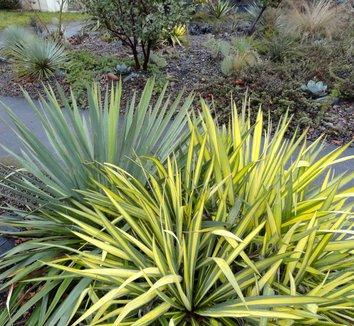Yucca filamentosa 'Color Guard' 19