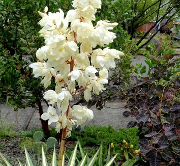 Yucca filamentosa 'Color Guard' 24 flower