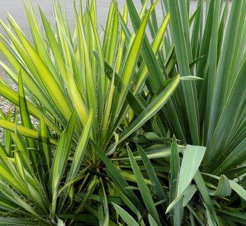 Yucca filamentosa 'Color Guard' 27