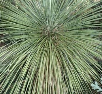 Yucca linearifolia 1 form