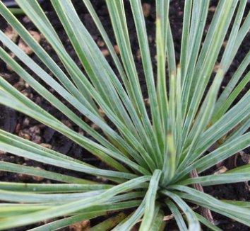 Yucca linearifolia 4