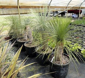 Yucca linearifolia 8 form