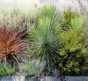 Yucca linearifolia 12 landscape