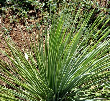 Yucca linearifolia 13