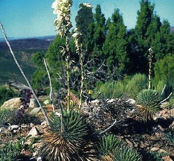 Yucca nana 2 flower, form