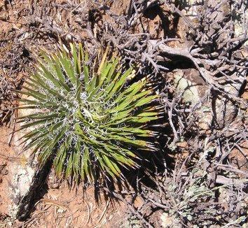 Yucca nana 8 form