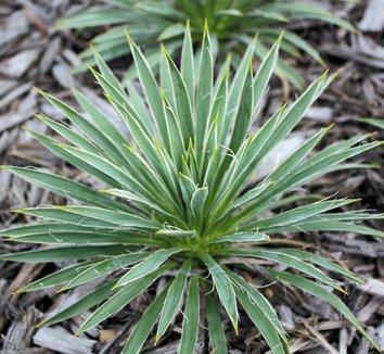 Yucca nana 12