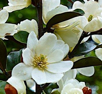 Magnolia laevifolia 'Warm Fuzzies'