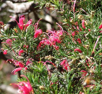 Grevillea rosmarinifolia 8 flower