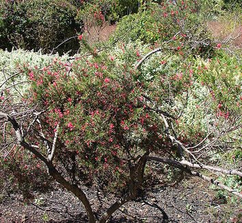 Grevillea rosmarinifolia 6 form