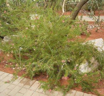 Grevillea rosmarinifolia 1