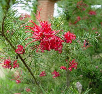 Grevillea rosmarinifolia 2 flower