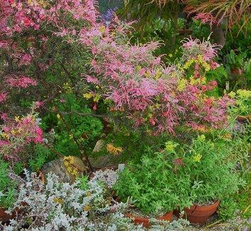 Grevillea rosmarinifolia 12 flower