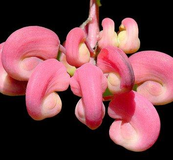 Grevillea rosmarinifolia 11 flower
