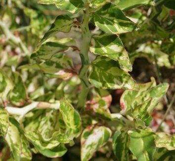 Euphorbia tithymaloides 'Variegatus' 4