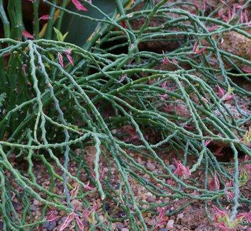 Euphorbia tithymaloides 'Variegatus' 8 flower