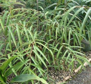 Stachyurus salicifolia 1 form