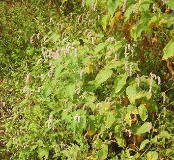 Polygonum orientale 10 flower, form