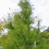 Taxodium ascendens 'Debonair'™