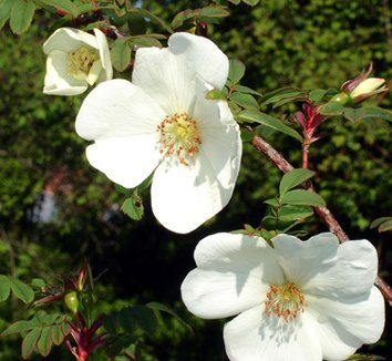 Rosa sericea ssp. omeiensis f. pteracantha 22 flower