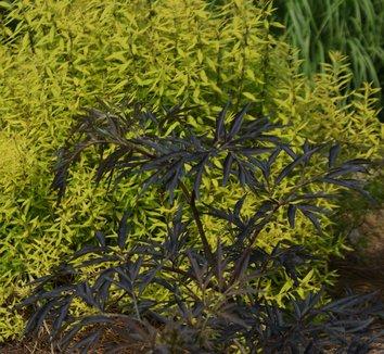 Sambucus nigra 'Black Lace' 15,575 11