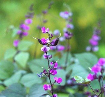 Lablab purpureus 20