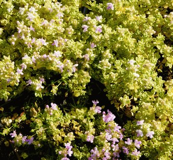 Thymus praecox 'Highland Cream' 6