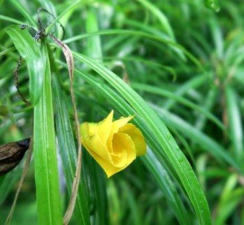 Thevetia peruviana 3 flower