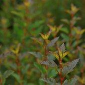 Physocarpus opulifolius 'Donna May' PP22,634
