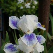 Iris 'Boo'