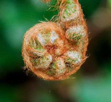 Polystichum setiferum 'Pulcherrimum Bevis' 5