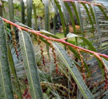 Stachyurus salicifolia 12 bud