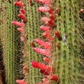 Cleistocactus parapetiensis