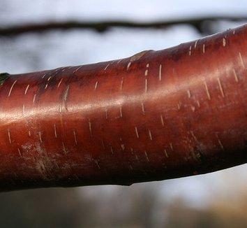 Betula albosinensis 'Septentrionalis' 5