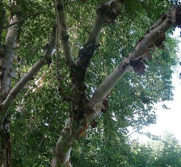 Betula albosinensis 'Septentrionalis' 7