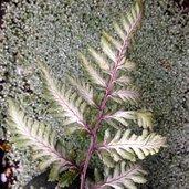 Anisocampium niponicum 'Godzilla'